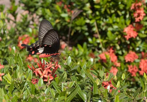 butterfly on grounds of Royal Palace Museum, Luang Prabang