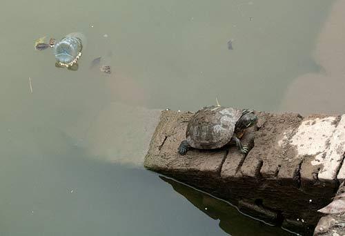 turtle at the Temple of Literature, Hanoi, Vietnam
