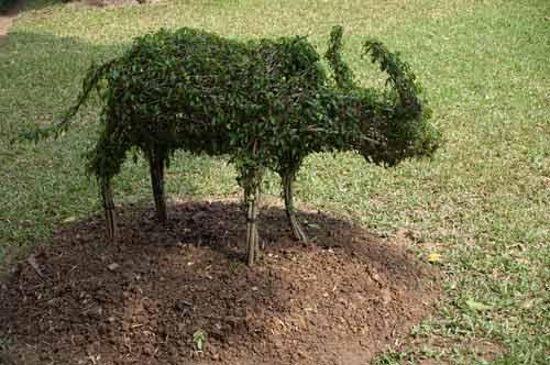 water buffalo topiary, Temple of Literature, Hanoi, Vietnam