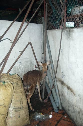 deer at bai hoi, Hanoi, Vietnam