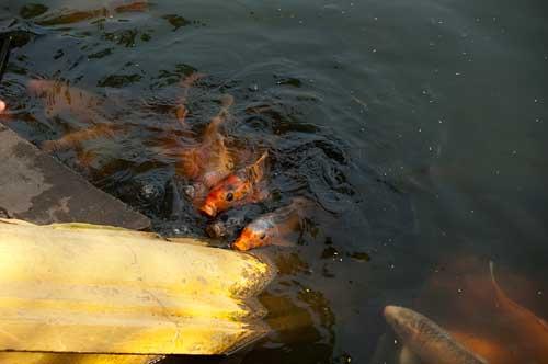 fish in pond by Ho Chi Minh's stilt house, Hanoi, Vietnam