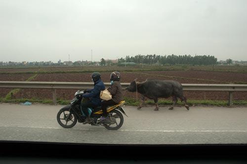 water buffalo on highway 1, outside Hanoi, Vietnam