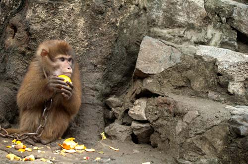monkey eating an orange, Perfume Pagoda, Vietnam