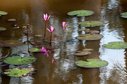 Lotus flowers in moat at Banteay Srei, Angkor, Cambodia