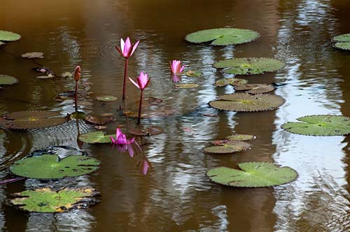 Lotus flowers in moat at Banteay Srei, Angkor, Cambodia