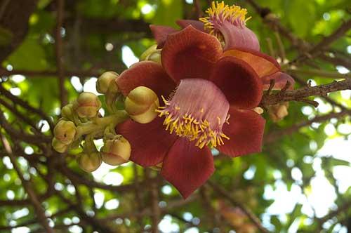 flower, Siam Reap