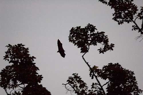 fruit bats, Siem Reap, Cambodia