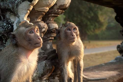 monkeys, Angkor Wat, Cambodia