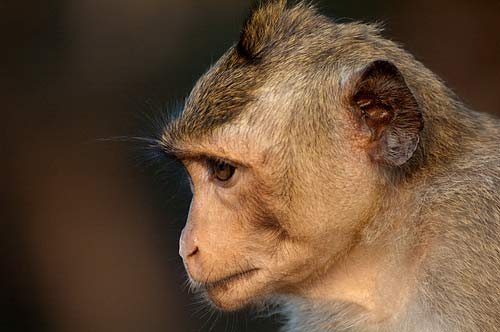 monkey portrait, Angkor Wat, Cambodia