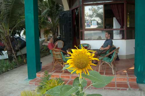 sunflower at the guesthouse, Kep, Cambodia