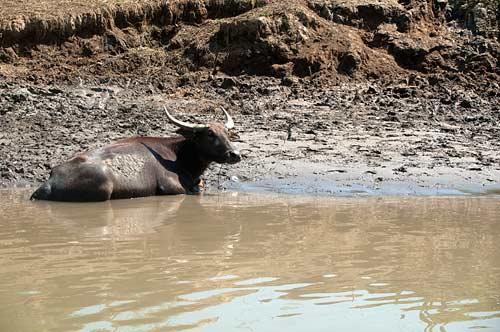 water buffalo, Vietnam