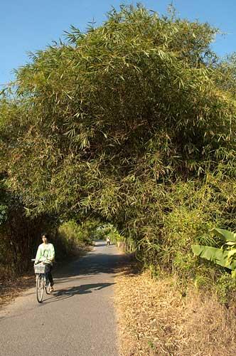 bamboo, An Binh Island, Vietnam