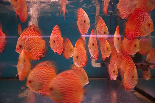 fish in aquarium, Saigon, Vietnam