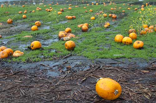 pumpkins at Mitchell Farms, Saanichton