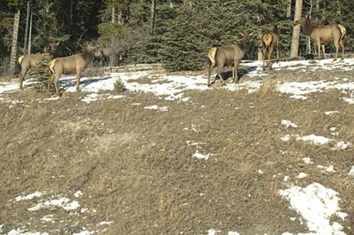 elk by Highway 11, Alberta