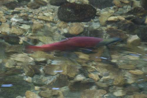 spawning Kokanee salmon, Hardy River, Peachland, BC