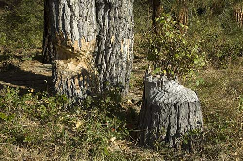beaver chewed tree, Kettle River, BC