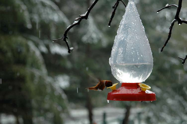 hummingbird in the snow, Pender Island, BC