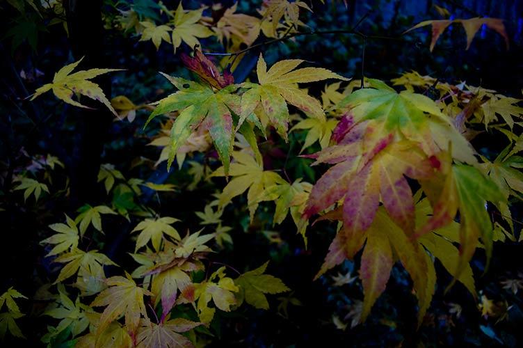 leaves in twilight Pender Island