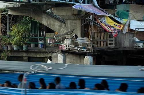 goat and boat on Bangkok canal