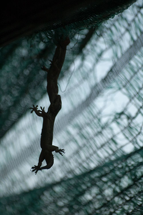 two geckos fighting, Champasak, Laos