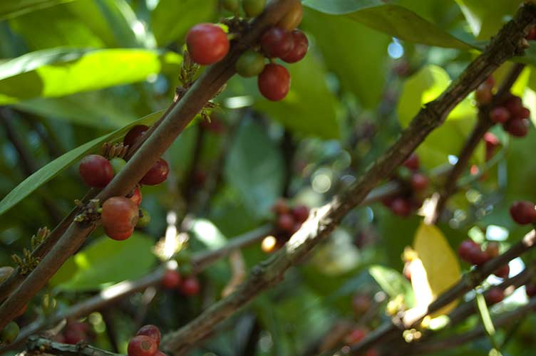 coffee beans on bush, Laos
