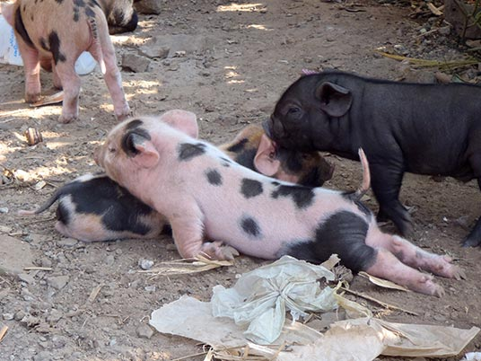 piglets by the roadside, Laos