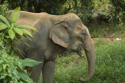 elephant, Koh Chang, Thailand