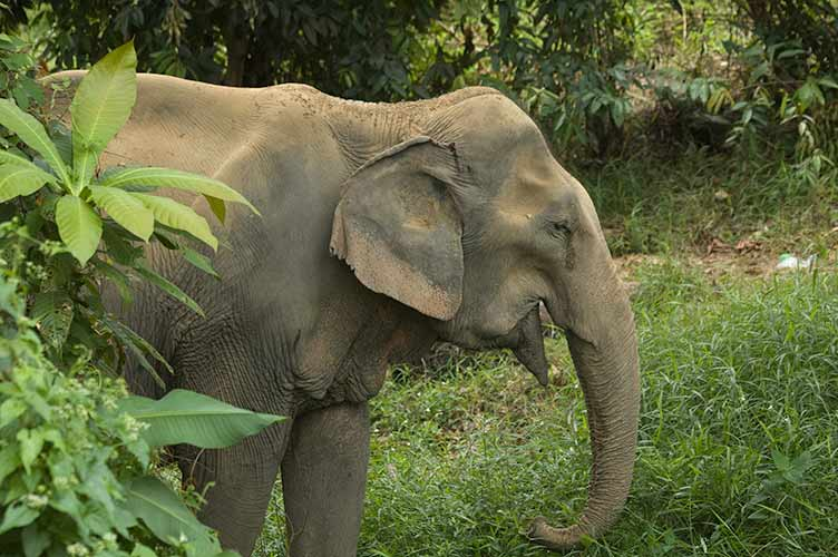 elephant, Koh Chang, Thailand