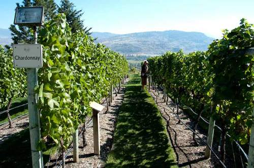 Tasting grapes at Tinhorn Creek Winery, Oliver, BC