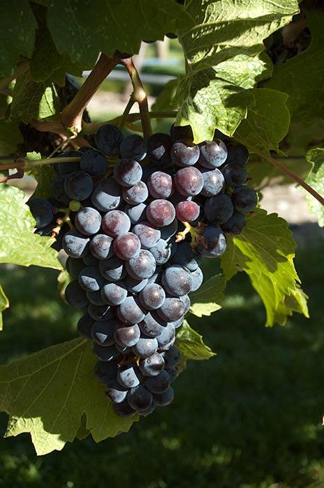 Pinot Noir grapes at Tinhorn Creek Winery