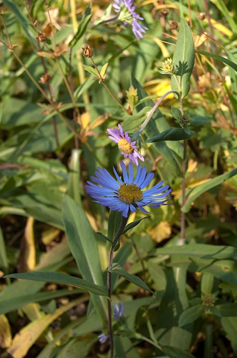 sub alpine meadow flowers