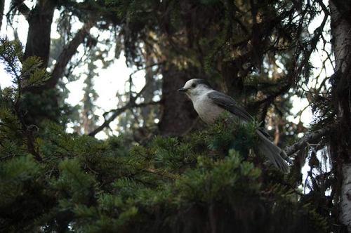 Gray Jay, Manning Park, BC