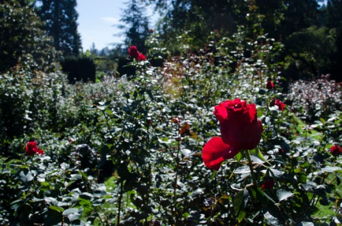 Rose Garden, Washington Park, Portland