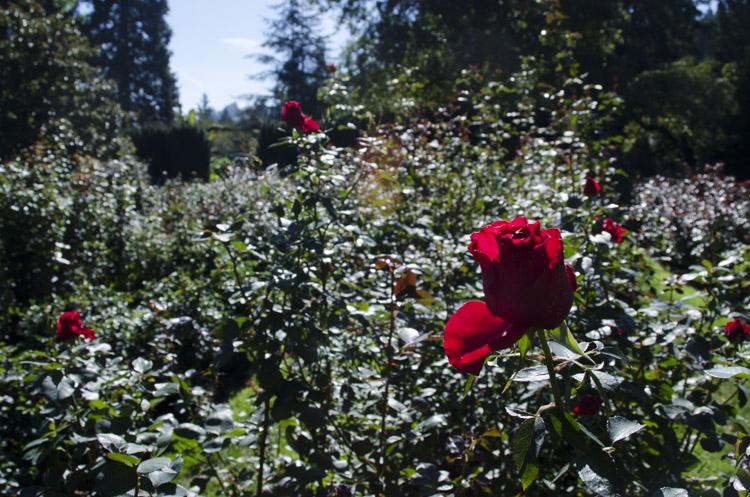 Rose Garden, Washington Park, Portland