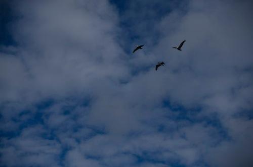 pelicans on Oregon Coast