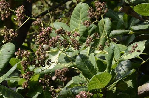 agonda-cashew-tree