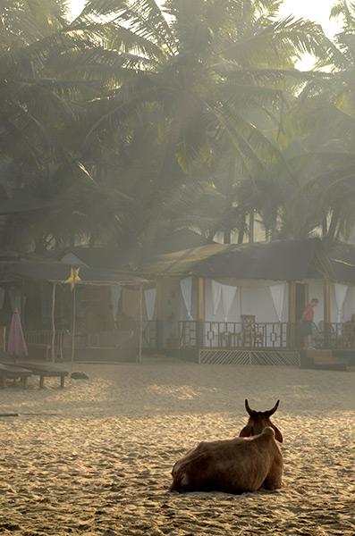 agonda-cow-beach-1