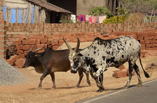 agonda-cows-road-1
