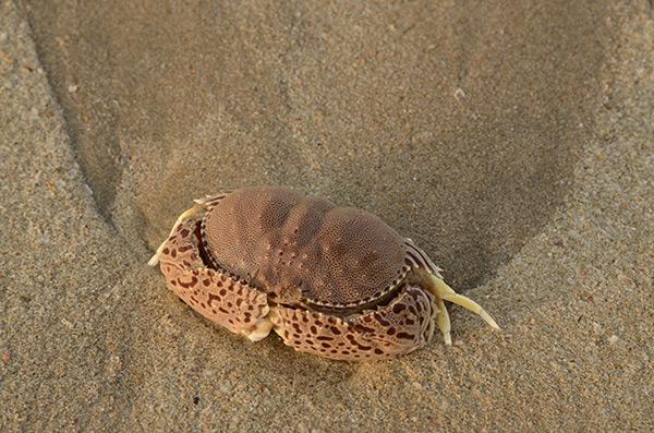 agonda-crab-1