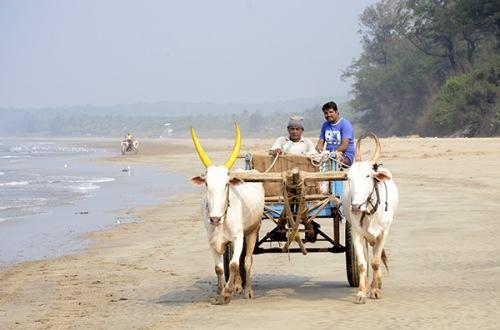 malgund-beach-oxen