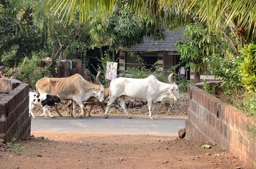 malgund-sham-oxen