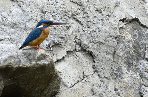 alleppey-kingfisher