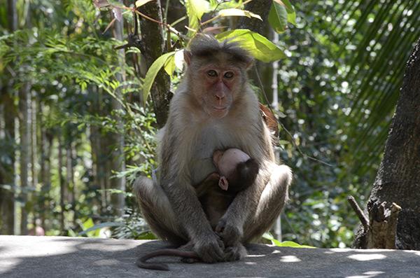 chinnar-monkey