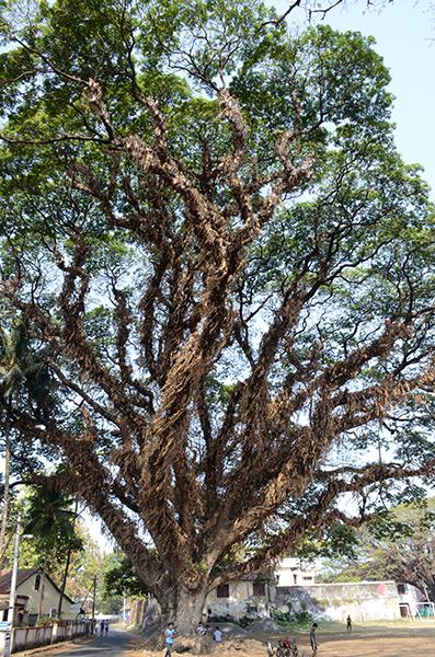 kochi-tree