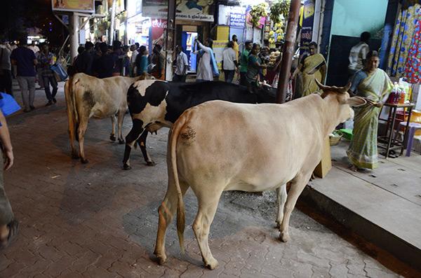 madurai-street-cows