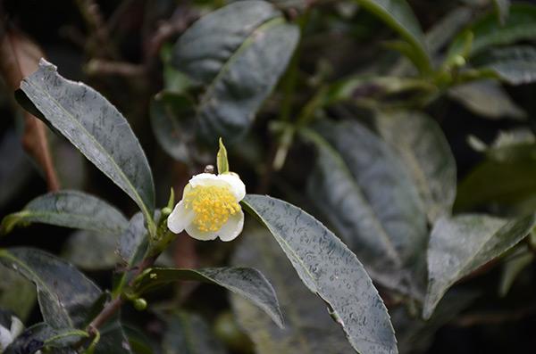 munnar-tea-flower