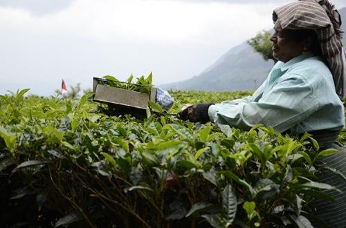 munnar-tea-harvest