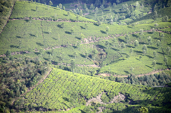 munnar-tea-view