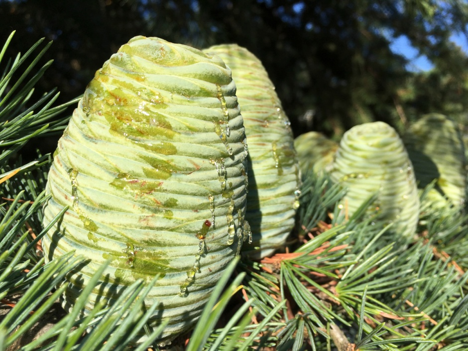 Evergreen cones sweating hot summer